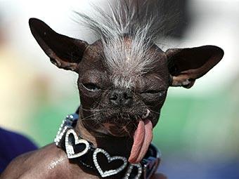 Самая уродливая собака